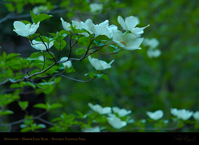 Dogwood_Mirror_Lake_Trail_X0851