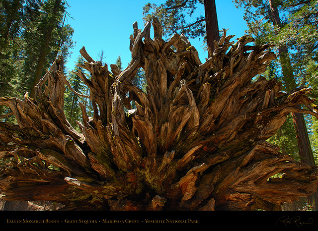 Fallen_Monarch_Roots_Mariposa_Grove_X0461