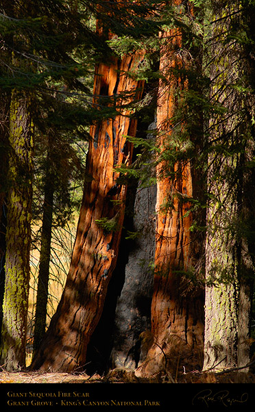 Giant_Sequoia_Fire_Scar_X6913