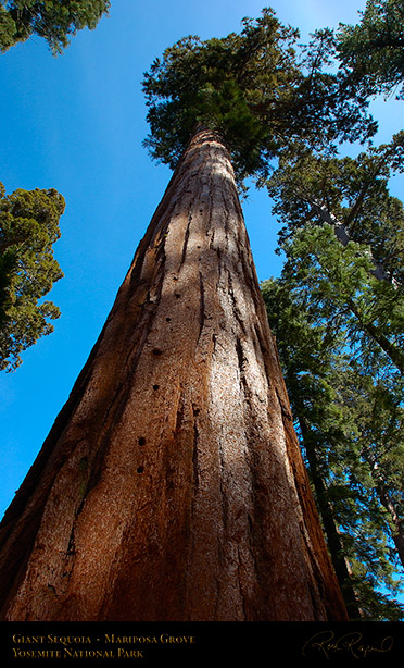 Giant_Sequoia_Mariposa_Grove_3031