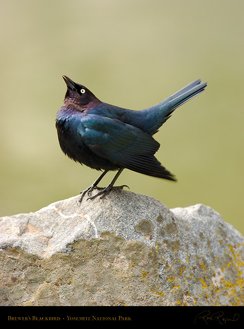 Brewer's_Blackbird_2375