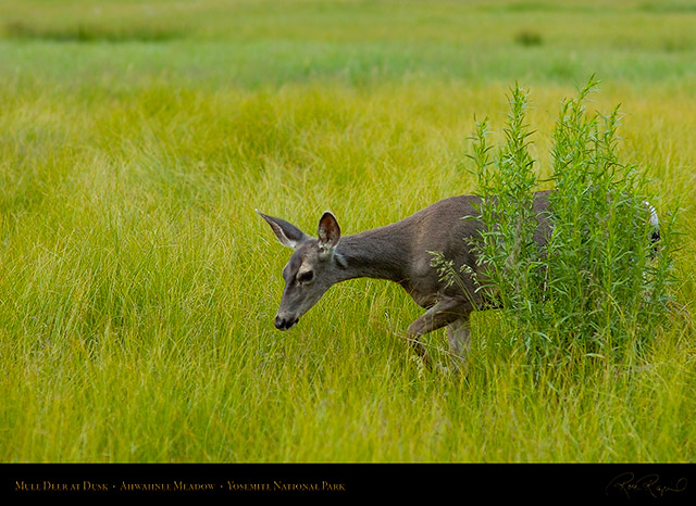 Mule_Deer_Ahwahnee_Meadow_Dusk_3672
