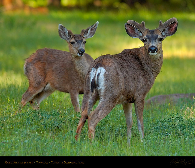 Mule_Deer_at_Sunset_Wawona_2740c