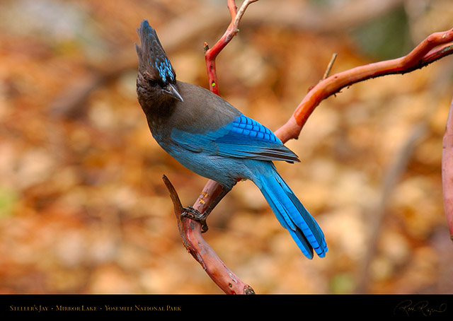 Stellers_Jay_Mirror_Lake_2762