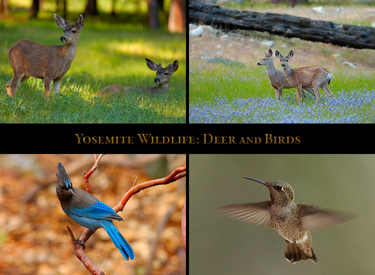 Yosemite_Deer_Birds