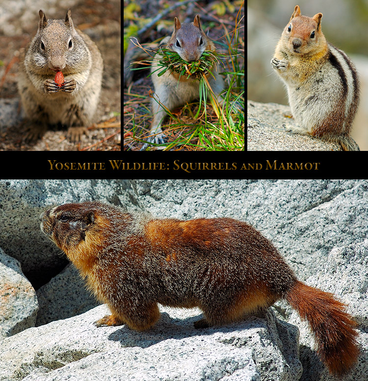 Yosemite_Squirrels_Marmot