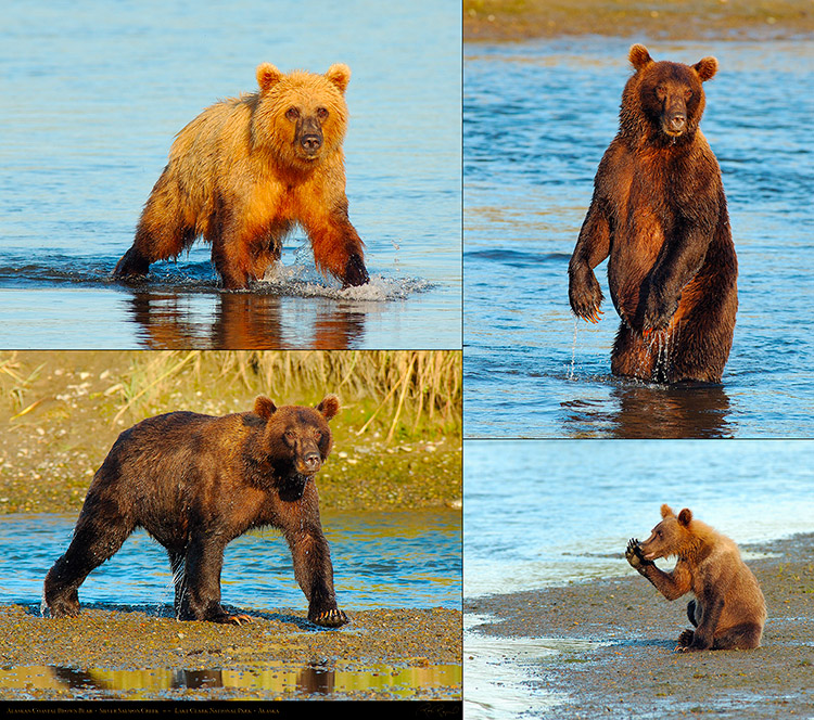 Alaskan_Coastal_Brown_Bear_XXL