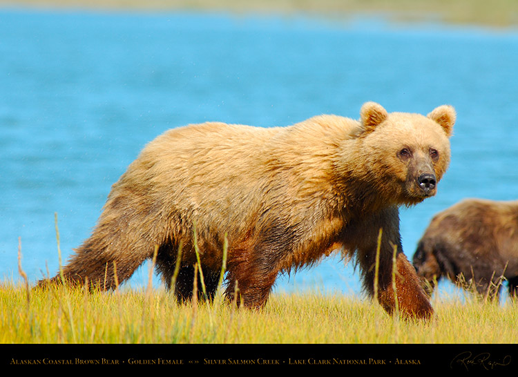 BrownBear_GoldenFemale_X2799