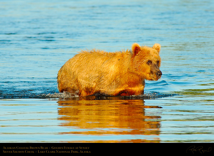 BrownBear_GoldenFemale_atSunset_X3201
