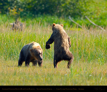 BrownBearCubs_Playing_X2823M