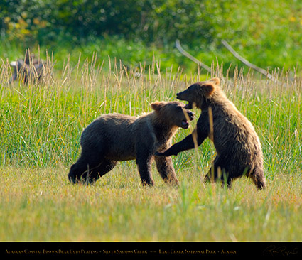 BrownBearCubs_Playing_X2824M