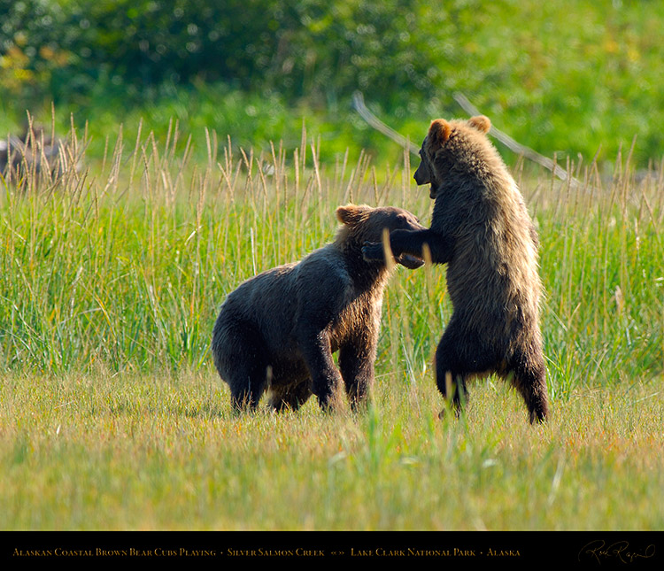 BrownBearCubs_Playing_X2825M