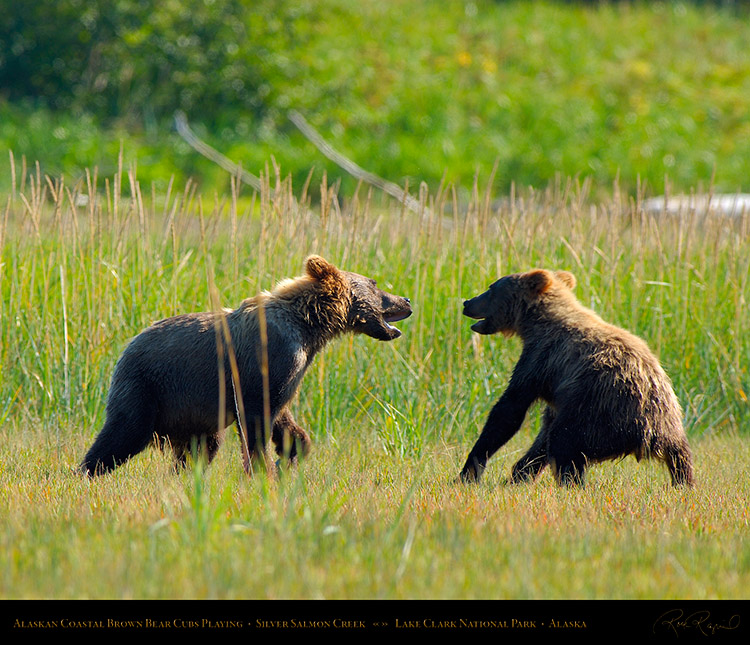 BrownBearCubs_Playing_X2830M
