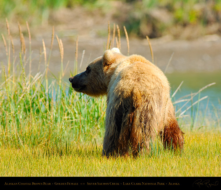 BrownBear_GoldenFemale_X2801M