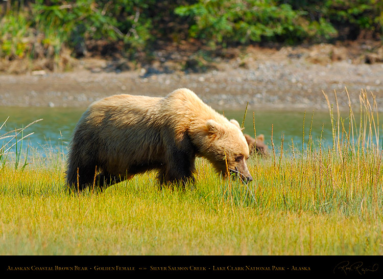 BrownBear_GoldenFemale_X2803