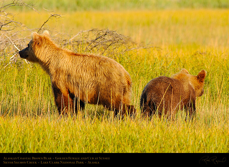 BrownBear_GoldenFemale_andCub_X3245