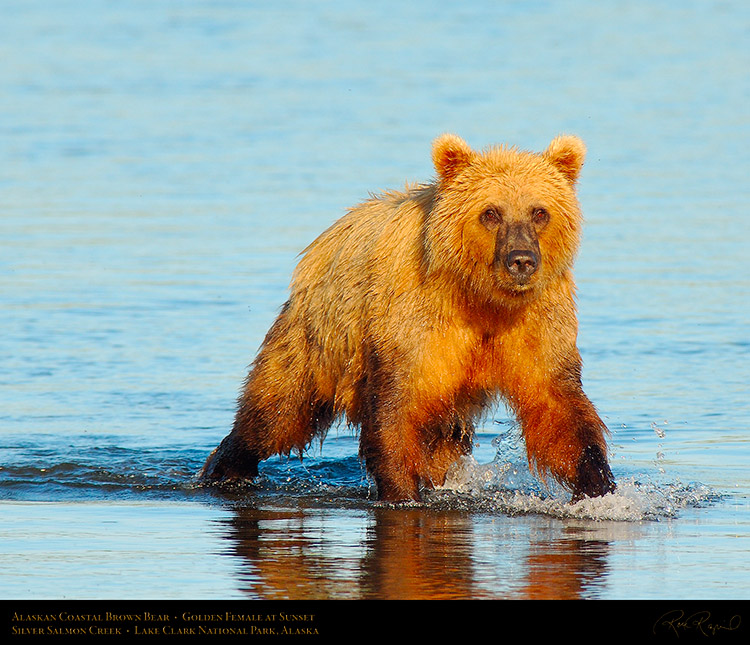 BrownBear_GoldenFemale_atSunset_X3205M
