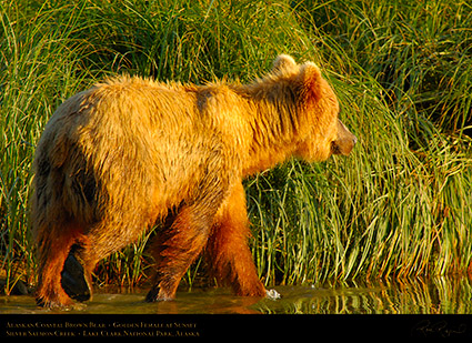 BrownBear_GoldenFemale_atSunset_X3215