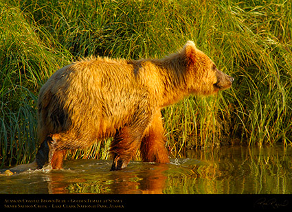 BrownBear_GoldenFemale_atSunset_X3216