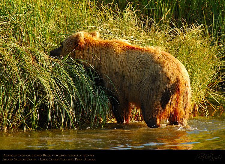 BrownBear_GoldenFemale_atSunset_X3217