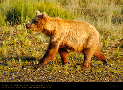 BrownBear_GoldenFemale_atSunset_X3232