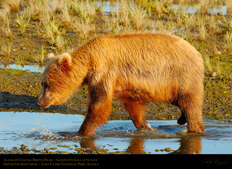 BrownBear_GoldenFemale_atSunset_X3234