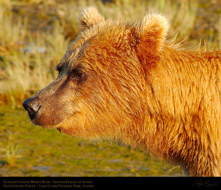 BrownBear_GoldenFemale_atSunset_X3236c_M