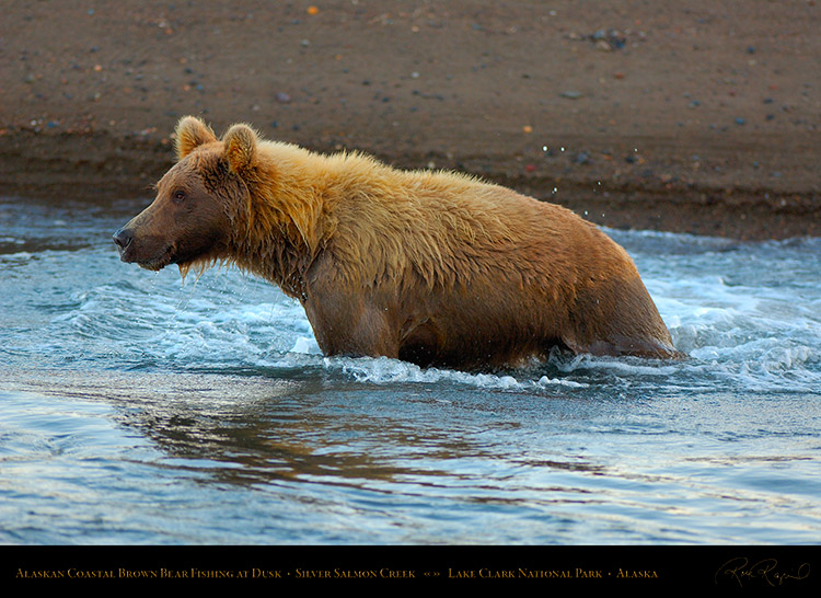 BrownBear_Fishing_atDusk_X3615