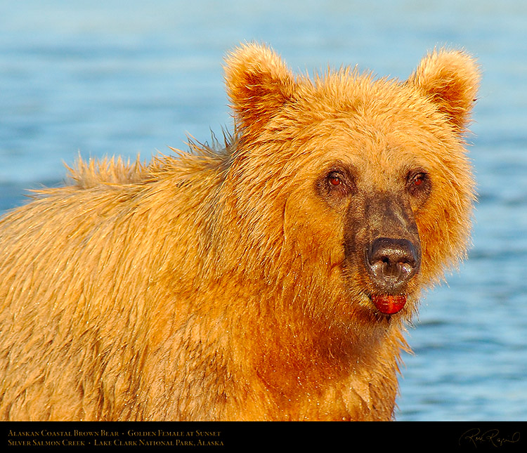 BrownBear_GoldenFemale_atSunset_X3208c_M