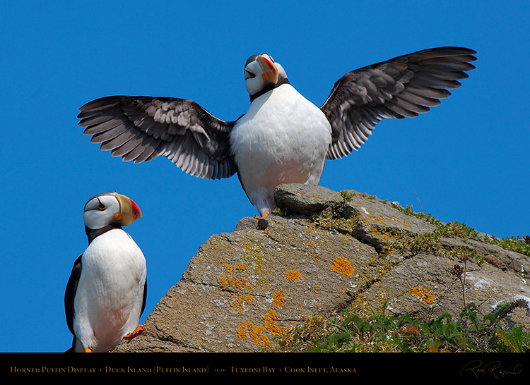 HornedPuffin_Display_X3372