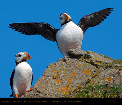 HornedPuffin_Display_X3373M