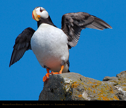 HornedPuffin_Display_X3382M