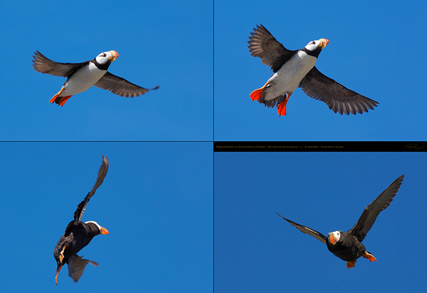 Horned_andTufted_Puffins_XXL