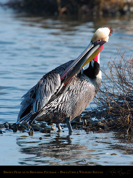 BrownPelican_BreedingPlumage_3572