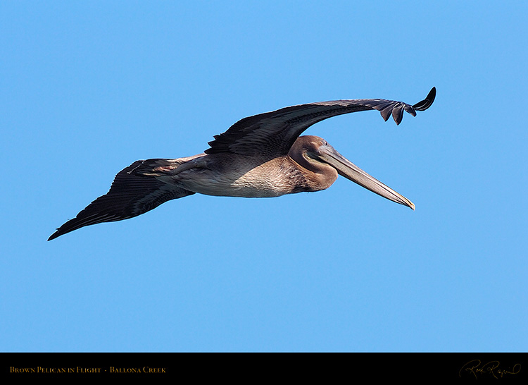 BrownPelican_Flight_HS9681