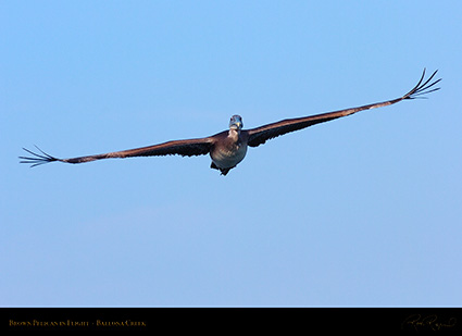 BrownPelican_Flight_HS9686