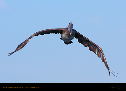 BrownPelican_Flight_HS9772