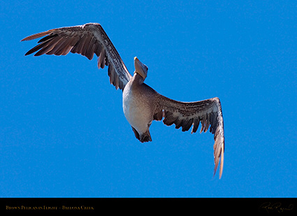 BrownPelican_Flight_HS9797