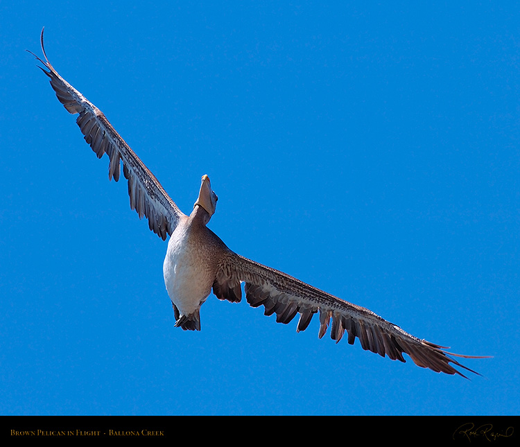 BrownPelican_Flight_HS9798M