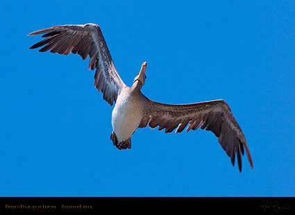 BrownPelican_Flight_HS9799