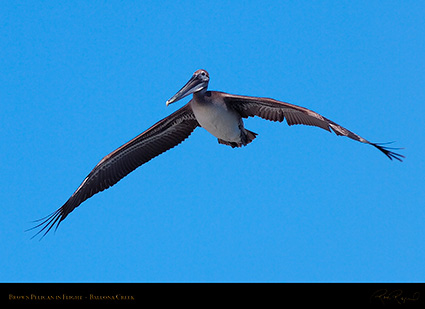 BrownPelican_Flight_HS9847