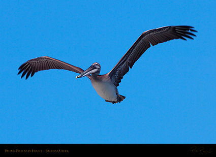 BrownPelican_Flight_HS9848