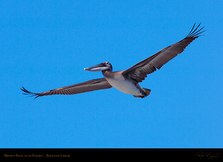 BrownPelican_Flight_HS9849