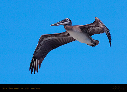 BrownPelican_Flight_HS9850