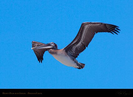BrownPelican_Flight_HS9851