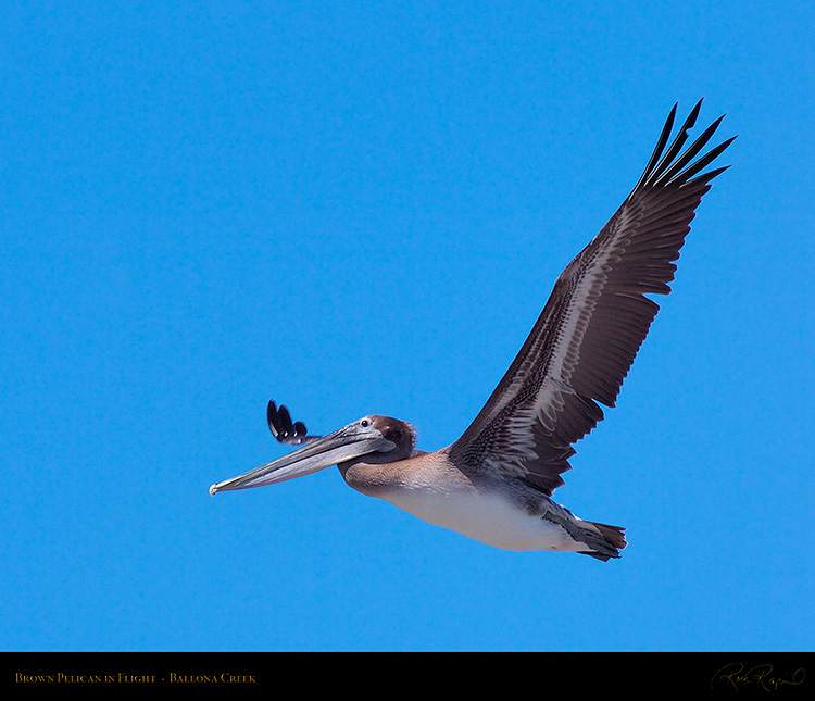BrownPelican_Flight_HS9857M