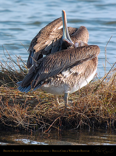 BrownPelican_JuvenileStretching_3564c