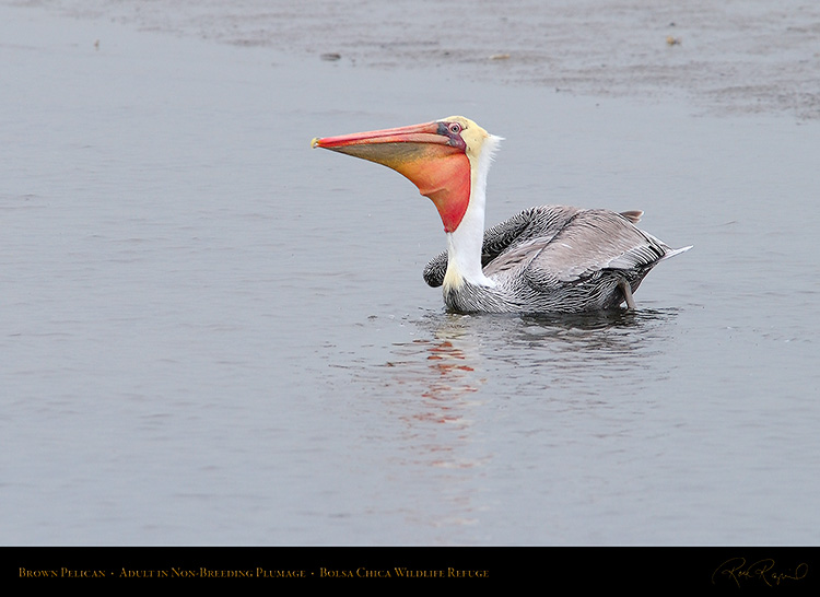 BrownPelican_Non-Breeding_0505