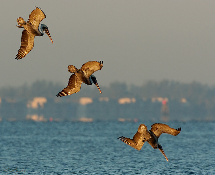 Brown_Pelican_Hunting_Sunrise_1335-37M