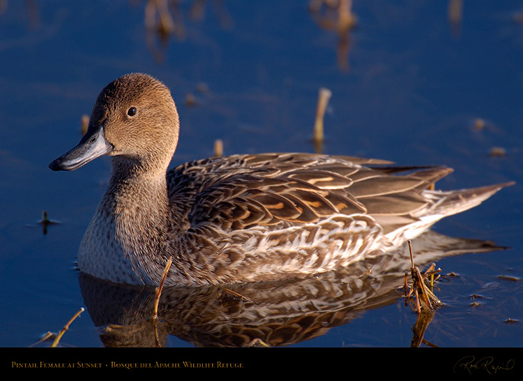 Pintail_Female_X3388